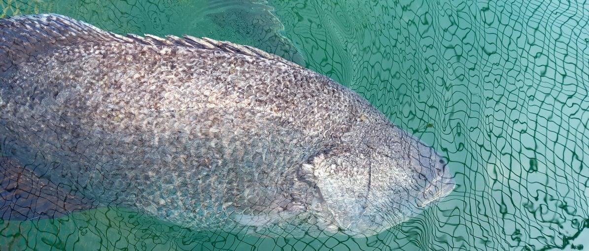 Membeli Ikan Laut Hasil Budidaya di BPBL Batam